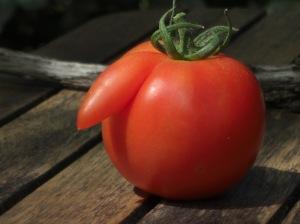 Le pied de nez de la tomate qui espère échapper aux brevets !  (ph.E.G.)