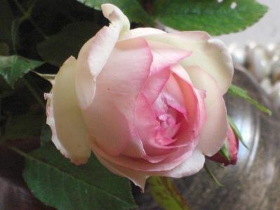 Rose ancienne à peine éclose (ph.E.G.)