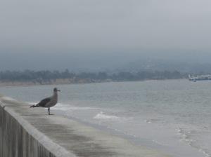 Les oiseaux aussi dégustent des algues... (photo E.G.)
