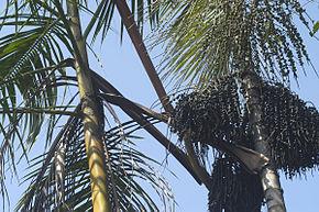 Le palmier euterpe deracea.